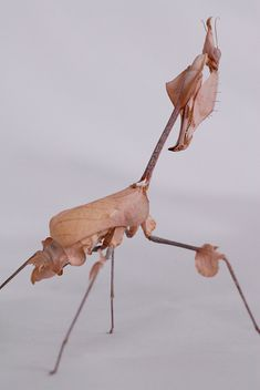 Gongylus gongylodes. indian rose mantis.