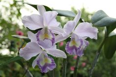 Cattleya Sir Jeremiah Colman 'Blue Moon' HCC/AOS - Flickr - Photo Sharing! Orchid Flowers, Blue Moon, Beautiful Flowers, Plants, Photos, Pictures, Pretty Flowers, Full Moon, Plant