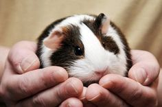 A chubby guinea pig sitting in its owner's hands.