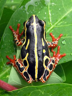 Common reed frog - Wikipedia, the free encyclopedia