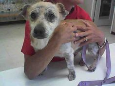 My name is Jimmy. My ID number is A022790 and I am a neutered male, brown and white, Dachshund mix. The Barstow Humane Society has been caring for me since 04/25/2016.The shelter staff think I am about 10 years old.Barstow Humane Society at (760) 252-4800 - 06/07/16