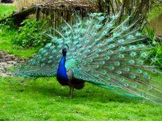 gambar burung merak nama hewan dari huruf M dari www.anakcemerlang.com