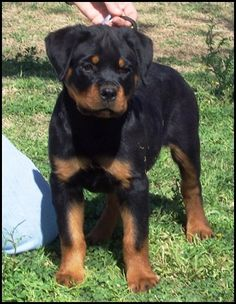 Rottweiler Puppy, because after Nitro I'm going to need more Rottie love.