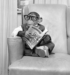 Adorable black and white photos show Kokomo Jr, a talking chimpanzee, going about his business at his New York City pad in Vintage Humor, Funny Vintage Photos, Primates, Animal Pictures, Funny Pictures, Funny Animals, Cute Animals, Clever Animals, Jungle Animals