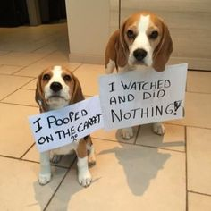 Louie The #beagle (@BeagleLouie)   Twitter