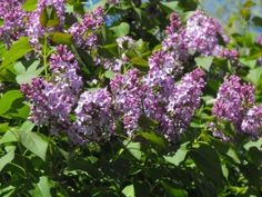 Old-Fashioned Purple Lilacs.. so fragrant!