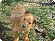 Liberty Center, OH - Terrier (Unknown Type, Small) Mix. Meet Honey, a dog for adoption. http://www.adoptapet.com/pet/17665743-liberty-center-ohio-terrier-unknown-type-small-mix