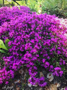 #purplesmallflowers