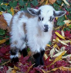 Baby goats are called kids, the same word your parents may use to describe you and your siblings! Mother goats are nannies. Fathers are called billy goats. Mini Goats, Cute Goats, Baby Goats, Cute Baby Animals, Farm Animals, Funny Animals, Animal Babies, Alpacas, Pigmy Goats