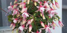 A Fukszia (Fuchsia) gondozása, teleltetése, betegségei, szaporítása