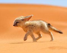 fennec-fox-morocco