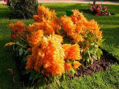 Celosia tem folhas verde claro ou levemente avermelhadas, abundantes e inflorescência em espigas plumosas nas cores creme, amarela, laranja, rosa, e púrpura.  Fotografia e texto: http://www.fazfacil.com.br/jardim.