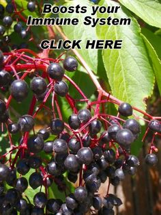 Black Elderberry helps maintain a healthy immune system response and is in Shaklee's proprietary blend Defend and Resist. Shaklee is the #1 #Natural Nutrition Co in the US.  Help your body resist sickness. $20.35 #health Repin http://b-barefoot.com