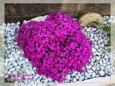 Phlox subulata tappezzante Green Life, Exterior Design, Shag Rug, Flowers, Plants, Decor, Gardening, Google, Garden