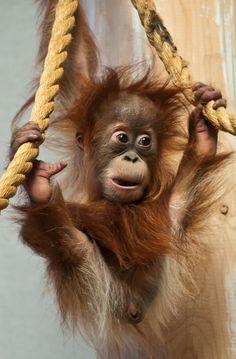 Ai salero ape monkey, cute baby animals, funny animals, animals and pets, Primates, Cute Baby Animals, Animals And Pets, Funny Animals, Strange Animals, Beautiful Creatures, Animals Beautiful, Tier Zoo, Baby Orangutan