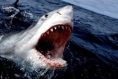 The great white shark can grow up to 21 feet and is responsible for the most reported unprovoked attacks on humans, even though humans are not their choice of prey.