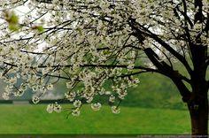 First flowering trees of spring - 01 - Spring is here. Trees And Shrubs, Flowering Trees, Trees To Plant, Picture Tree, Photo Tree, Organic Gardening, Gardening Tips, Pixel Photo, Image Hd