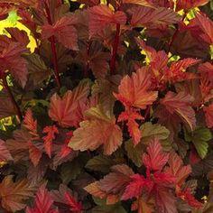 Buy Physocarpus Coppertina Shrubs Online. Garden Crossings Online Garden Center offers a large selection of Ninebark Plants. Shop our Online Shrub catalog today!