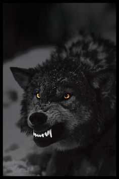 Prowling Dark Angry Wolf