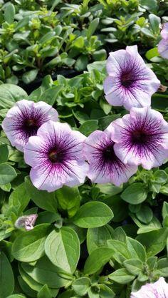Petunia Sweetunia Purple Vein