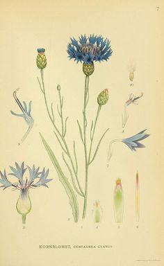 Centaurea cyanus | n30_w1150 Billeder af nordens flora. v.1 København,G.E.C. Gad's forlag,1917-1927