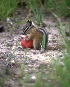 A chipmunk eating a strawberry
