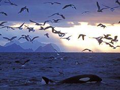 Résultats Google Recherche d'images correspondant à http://media1.voyages.woopic.com/medias/images/reportages/600x450/Norvege-iles-Lofoten-orque-thumb-940x705-19641-600x450.jpg