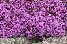 10 najodolnejších trvaliek, o ktoré sa netreba starať Thymus Serpyllum, Flowers, Plants, Plant, Royal Icing Flowers, Flower, Florals, Floral, Planets
