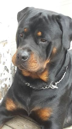 Miss you Zeus! German Rottweiler, Rottweiler Puppies, Funny Animal Videos, Cute Funny Animals, Big Dogs, Dogs And Puppies, Dog Treat Toys, White Dogs, Love Pet