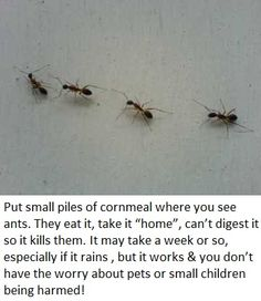 Safe Homemade Ant Killer-small piles of cornmeal where you see ants.