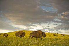 Black Hills South Dakota Bison heard