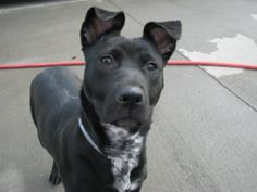 """SAFE !  11/16/13 Brklyn Ctr -P MYLA #A0984589  Spayed female blk/wht pit bull OWNER SUR 11/10/13  -8 MTHS IS JUST A BABY!!! Poor pup brought in because """"too active & not enough time"""".Crate trained, friendly, loving, lots of energy. Did great on behavior exam. Minor guarding w/ food (gulping) & need of doggy socializing. Both are retrainable, WITH TIME. Playful, loves toys. Knows sit. GREAT POTENTIAL. If your up for positive puppy training & all that entails, Myla is worth the investment!"""