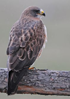 """Swainson's Hawk. """"Hawk ~ Power, Magic, Messenger. Hawk is the messenger, the protector and the visionaries of the Air.  It holds the key to higher levels of consciousness. This totem awakens vision and inspires a creative life purpose."""" 100% agree. -P.S."""