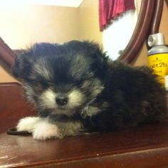 Pom/Maltese mix @ 6 weeks, and just ONE pound! My little tiny baby <3