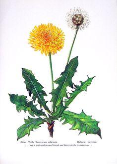 1957 Dandelion, Bitter Herbs Vintage Botanical Print with Bible Verse