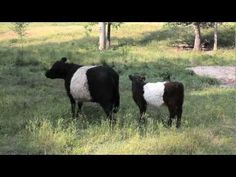 Learn about the history of the famed herd of Belted Galloway Cows that dot the pastures of #FearringtonVillage