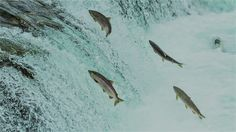 Vào mùa xuân, khi nhiệt độ nước bắt đầu tăng, Cá hồi Vân đã di chuyển hàng trăm dặm mà không cần bàn đồ hay GPS để tìm đường trở lại các con sông và dòng suối nơi chúng đã được sinh ra để đẻ...