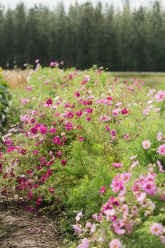 Of all the flowers you can grow in your cutting garden or veggie patch, none are more productive than cosmos. They are a great cut-and-come-again flower: the more you harvest them, the more they bloom. A single planting will produce buckets of blossoms fo Flower Farm, Flower Garden Design, Veggie Patch, Beautiful Flowers Garden, Cosmos, Plants, Tall Flowers, Planting Flowers, Cosmos Flowers