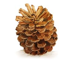 Pinecone watercolor painting - by blackteacafe - Etsy