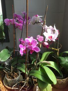 Aprile 2016 - fioritura delle orchidee