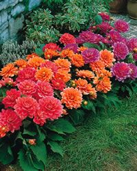 Dahlia - Border Collection  Mature Height  	15 inches  Soil Type  	Widely adaptable  Moisture  	Moist, well-drained  Sun Exposure  	Full Sun to Partial Sun  Flower Color  	Mixed  Bloom Period  	Mid-Summer to Fall  Bulb Spacing  	12 - 18 inches  Foliage Color  	Green  Zones  	4-10  From Nature Hills Nursery