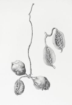 Botanical Drawings, Botanical Art, Plant Illustration, Botanical Illustration, Graphite Drawings, Charcoal Drawings, Pencil Drawings, Natural Forms Gcse, Plant Drawing