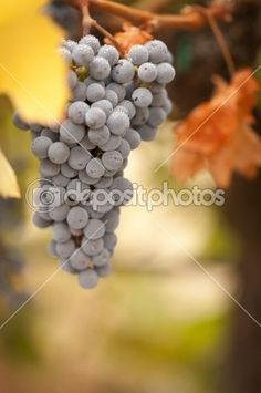 Beautiful Lush Grape Vineyard in The Morning Sun and Mist by Andy Dean - Stock Photo