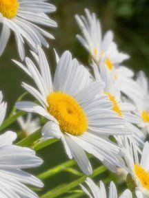 Daisy Love, Planting Flowers, White Sunflower, Lilacs, Daisies, Plants, Floral Arrangements, Flowers, Margaritas