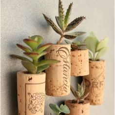 Succulents in corks