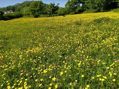 Morning walk through the buttercups. Unbelievably #nofilter
