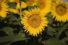 You can preserve whole sunflowers of any size by using a number of methods, depending on whether you want to make them last longer while fresh or dried. How To Make Sunflower, Sunflower Crafts, Sunflower Flower, Sunflower Wreaths, Flower Farm, Flower Pots, Flower Ideas, Dried Sunflowers, Growing Sunflowers
