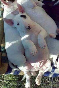 Bull Terrier cutie.