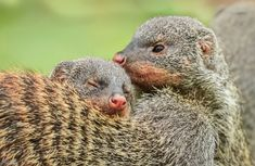 Photo Mongoose Love by Mickey on Mongoose, Wildlife Paintings, Mothers Love, Amphibians, Painting Inspiration, How Are You Feeling, Wild Animals, Owls, Birds