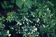 RHS Plant Selector Gaultheria mucronata / RHS Gardening